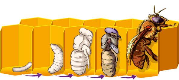 life-cycle-bee